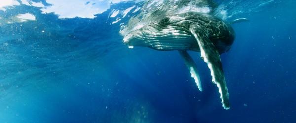Swimming with Humpbacks